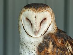 Sleepy Barn Owl