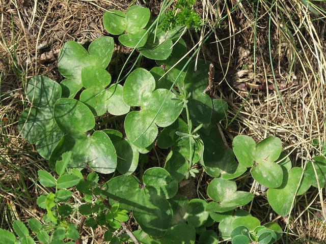 Feuilles d'hépatique à trois lobes (Hepatica nobilis), Sentier botanique du Bez, Briançonnais (France)