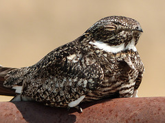 Common Nighthawk / Chordeiles minor - threatened species