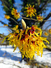 Blossoming Witch-hazel. Botanical Garden Munich.
