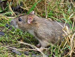 P1284195 Rat young