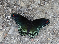 Red-spotted Purple (Limenitis arthemis)(m) A first for here