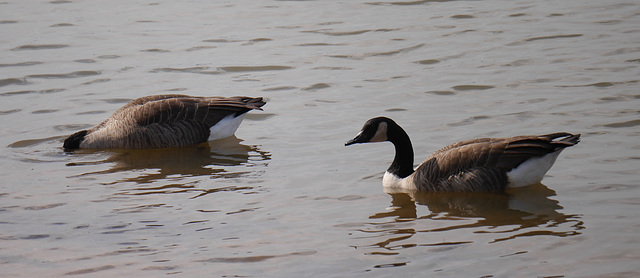 Canadian Geese on Their Way South