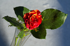 Rose 7/50 : Schiefe Schönheit