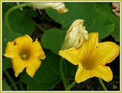 ** Fleur de potiron du jardin **