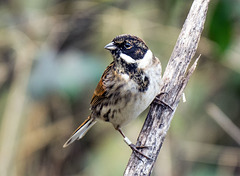 P1284209 Reed Bunting