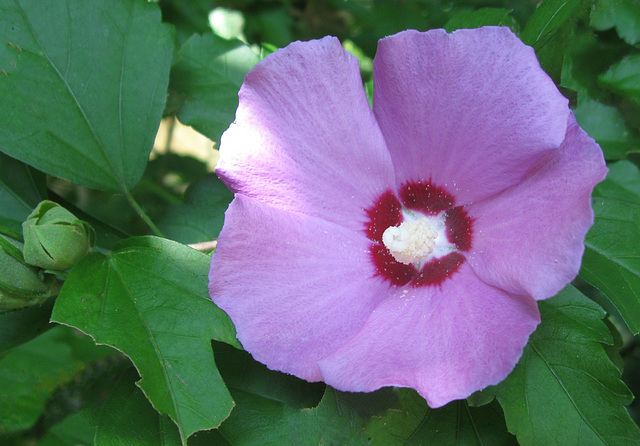 Tow Path Hibiscus