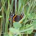 Versteckspiel im Gras (Vanessa atalanta)