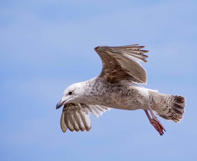 Seagull May set (3)