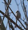 mésange à longue queue - étang Neuf - Ste Olive (Ain)