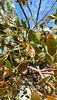 Fuchsia gum