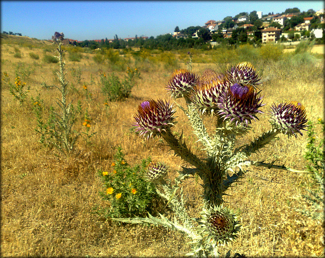 Cardoon or thistle, someone will correct me I hope!