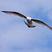 Seagull May set (4)