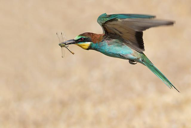 Le guêpier et la libellule
