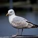 Seagull May set (7)