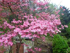 Blüten - floroj - Roter Hartriegel