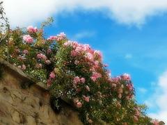 Les roses font le mur [ON EXPLORE]