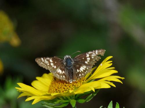 26TH 033 Common Checkered-Skipper (Pyrgus communis) p 4