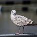 Seagull May set (8)
