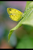 'Common Grass Yellow' Butterfly