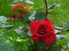 rose rosse per voi