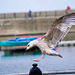Seagull May set (9)