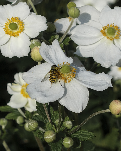 Japonica and bee