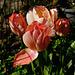tulpen zalmkleurig