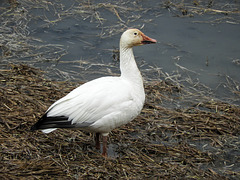Day 8, Snow Goose / Anser caerulescens