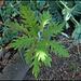 Bocconia frutescens (3)