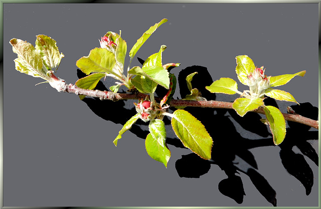 Apfelblüten. ©UdoSm