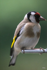Niger seed will always bring in the goldfinch