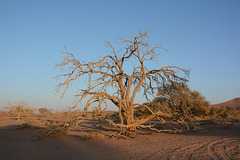 Namibia, Withering Tree in The Sossusvlei National Park