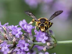 abeille cotonnière sur la lavande