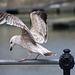 Seagull May set (14)