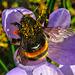 Hummel (Bumblebee)