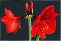Amaryllis (Hippeastrum, Ritterstern). In voller Blüte, Tag 7. In full bloom, Day 7. ©UdoSm
