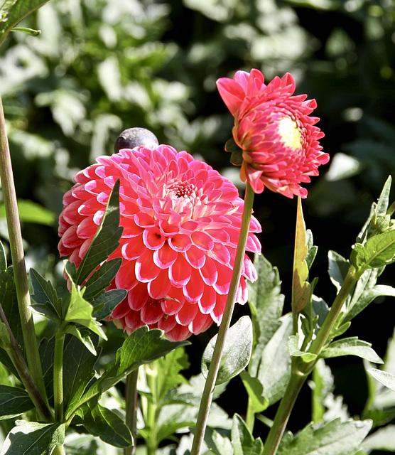 Dahlienblüte auf Mainau
