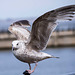 Seagull May set (15)