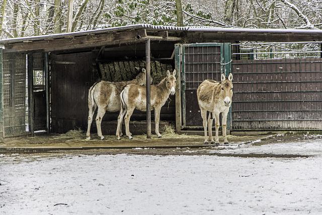 Esel im Tierpark Chemnitz