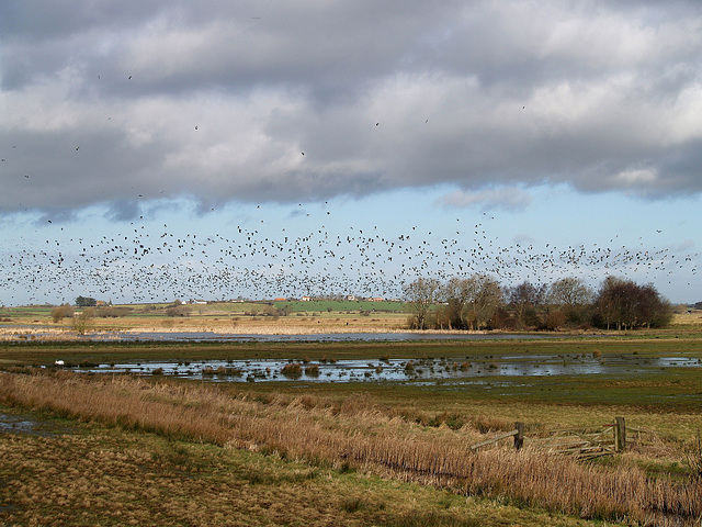 Lapwings spooked by a Peregrine.