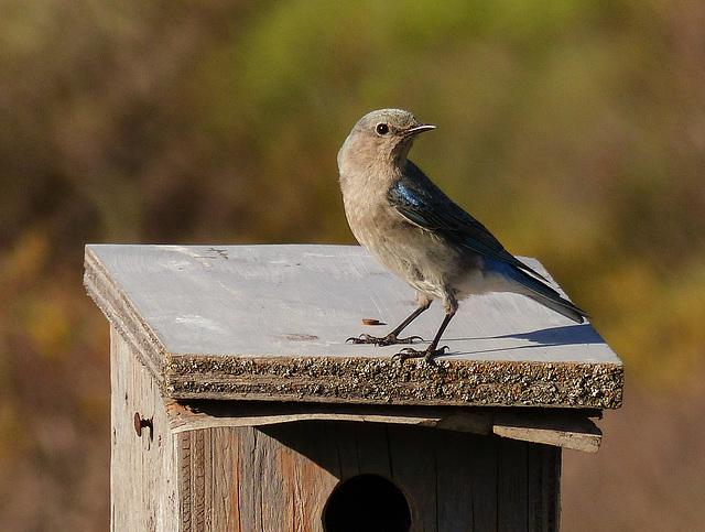mountain bluebird protecting her nest box