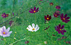 Cosmos in the green field