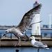 Seagull May set (17)