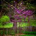 Judas Tree Simplicity