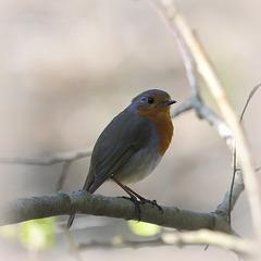 Robin  mélancolique