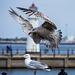 Seagull May set (18)