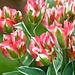 gdn - Tulip Esperanto