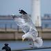 Seagull May set (19)