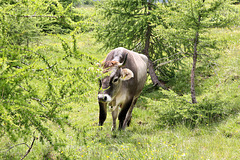Tiroler Kuh